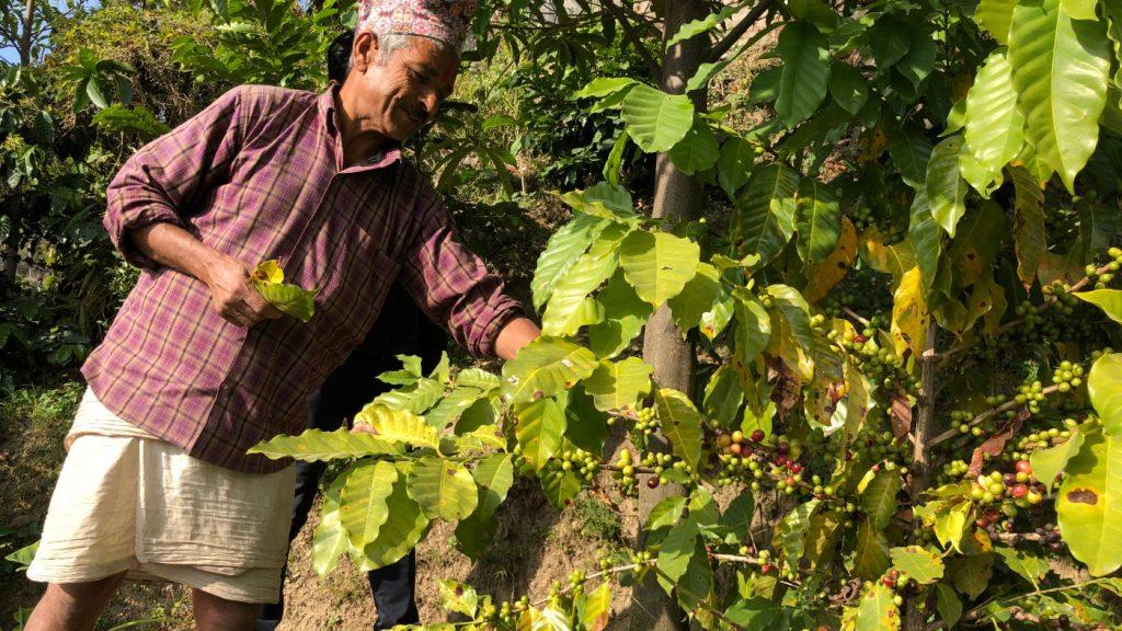 A man picks coffee beans in Nepal