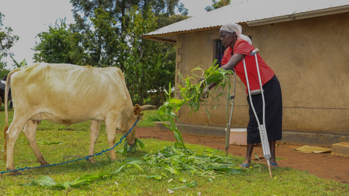 A woman leans on crutches as she feeds a cow.